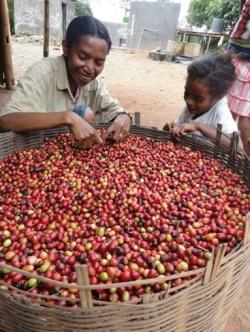 東ティモール コーヒーの収穫